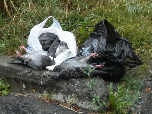 Погибших птиц собирали пакетами